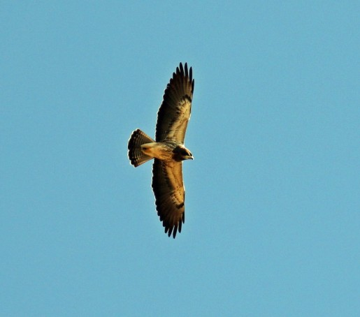 Swainson's Hawk Flight
