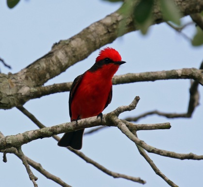 Vermillion Flycatcher King Ranch