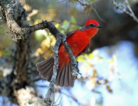 Vermillion Flycatcher with Tail Fanned