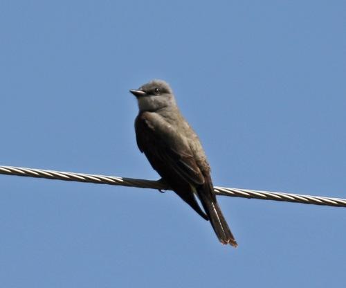 Western Kingbird1