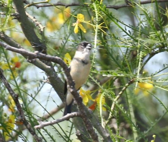 White Collared Seedeater