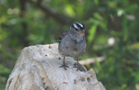 White Crowned Sparrow Llano