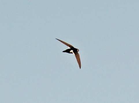 White Throated Swift1