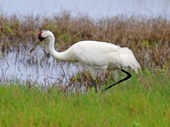 Whooping Crane4
