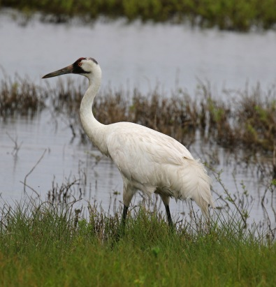 Whooping Crane5