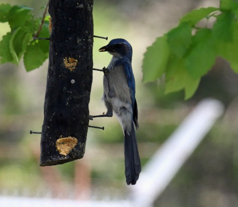 Woodhouse's Scrubjay