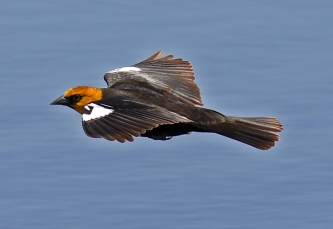 Yellow Headed Blackbird Flight1