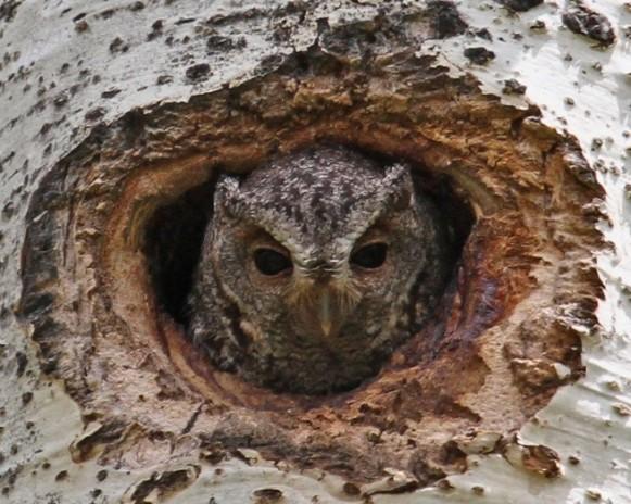 Flammulated Owl at Nest