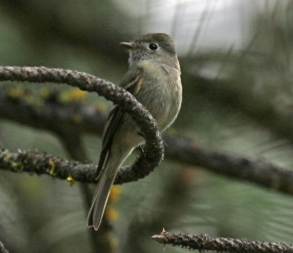 Hammond's Flycatcher1