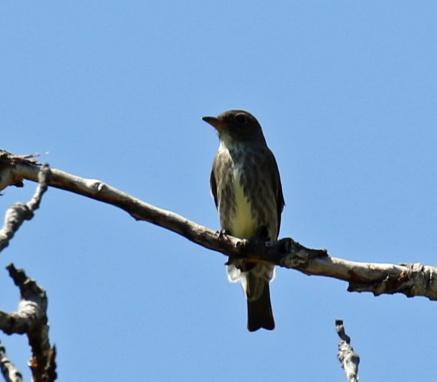 Olive Sided Flycatcher1