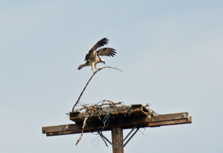 Osprey Nestbuilding