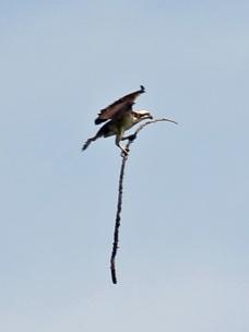 Osprey with Stick