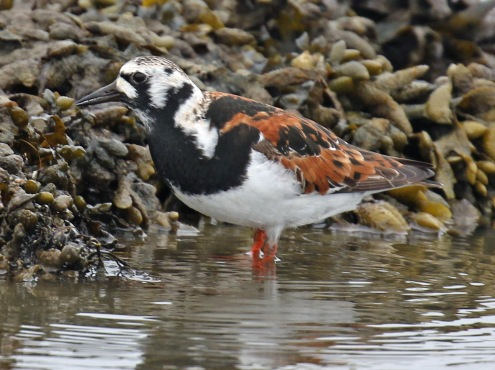 Ruddy Turnstone2