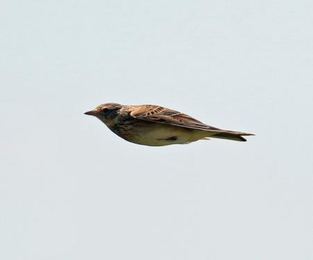 Skylark Flight 5