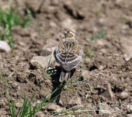 Skylark in Dirt