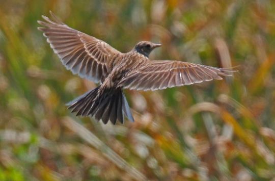 Skylark Wings