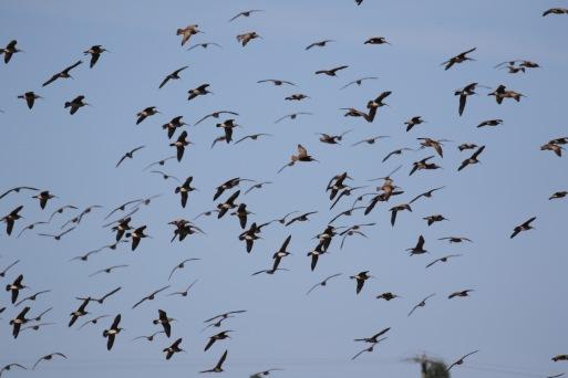 Whimbrel Flock Flight Shot