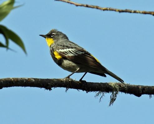 Yellow Rumped Warbler1
