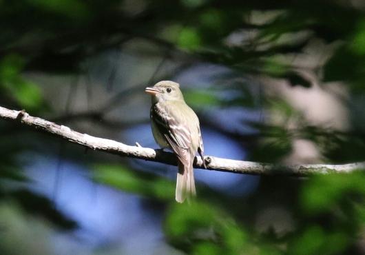 Acadian Flycatcher 1