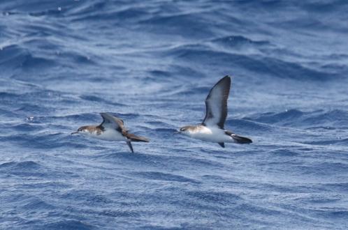 Audubon's Shearwaters 2