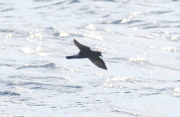 Band Rumped Storm Petrel 1