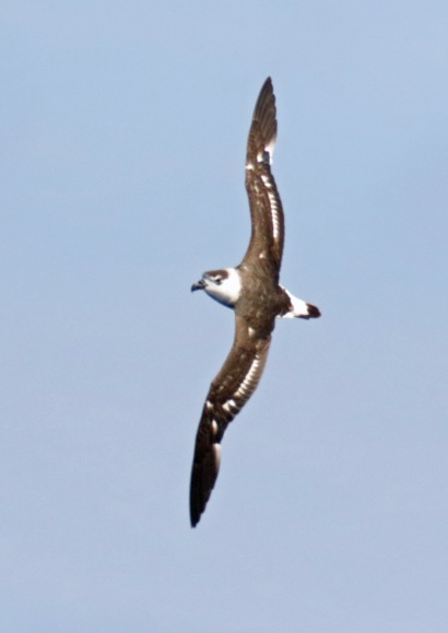 Black Capped Petrel Vertical