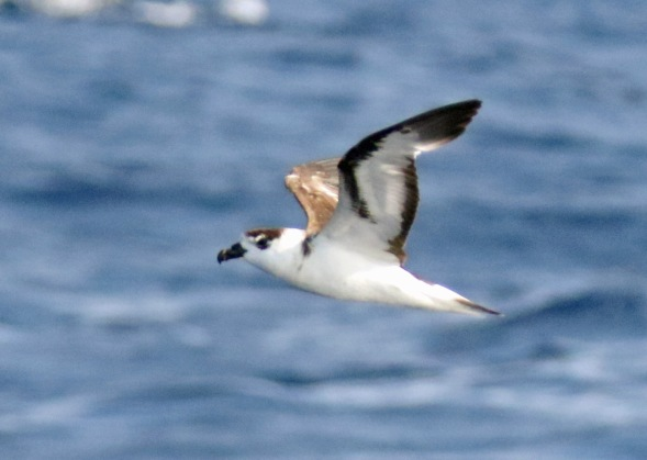 Black Capped Petrel6