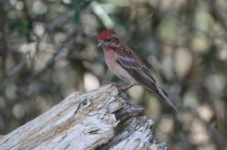 Cassin's Finch Llano
