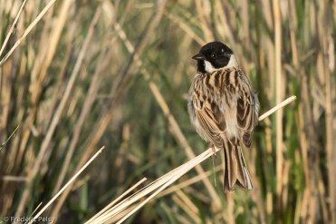 Bruant de Pallas Emberiza pallasi Pallas's Reed Bunting
