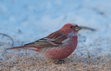 Pallas's Rosefinch