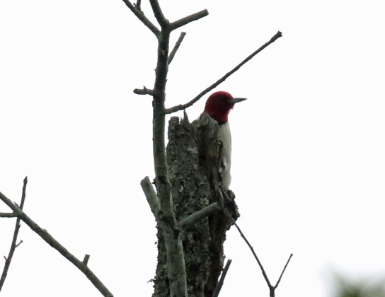 Red Headed Woodpecker B