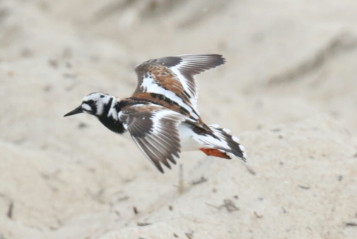 Ruddy Turnstone Flight