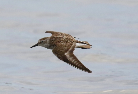 Semipalmated Sandpiper Flight