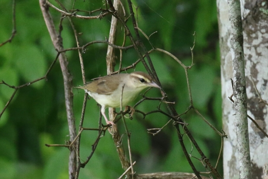 Swainson's Warbler 1