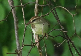 Swainson's Warbler 2