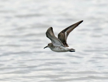 White Rumped Sandpiper Flight
