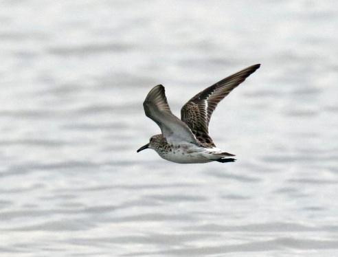 White Rumped Sandpiper Flight