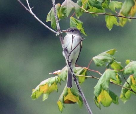 Alder Flycatcher1