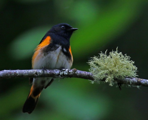 American Redstart next to Fungus.jpg