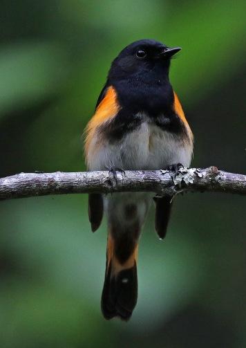 American Redstart Vertical
