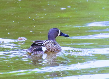 Blue Winged Teal.1jpg
