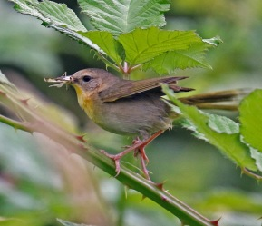 Common Yellowthroat Female1