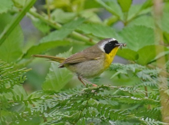 Common Yellowthroat Male2