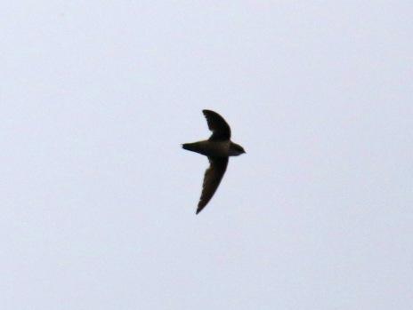 Vaux's Swift