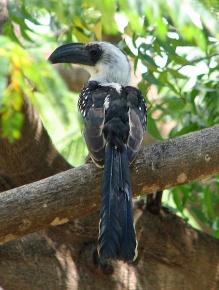 101 Jackson's Hornbill