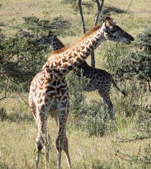 134 Giraffe - Rothschild