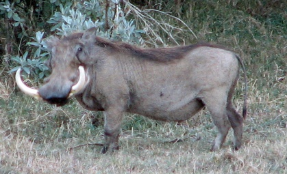 135 Wart Hog