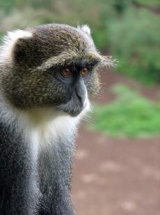 16 Sykes Monkey