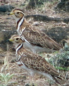 2 Banded Coursers