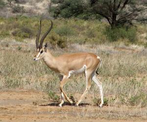 30 Grants Gazelle